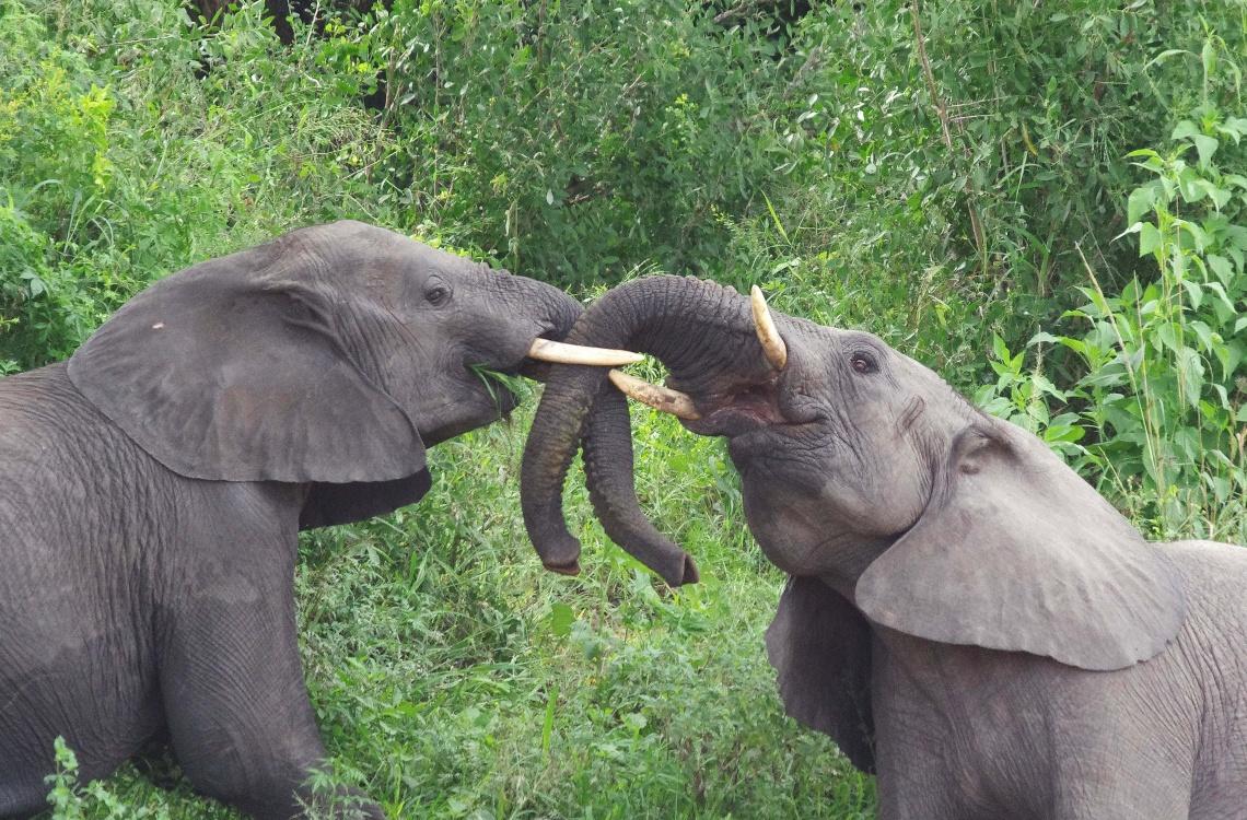 Hos Malpepo har du mulighed for at spotte og skyde en af de store og flotte elefanter