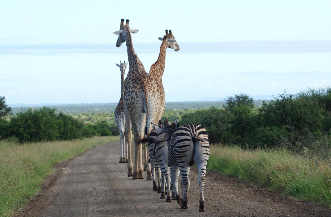Giraffer på tur
