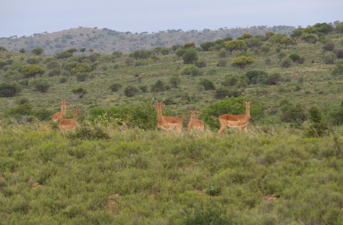 En flok impalaer spottet på en morgen jagt
