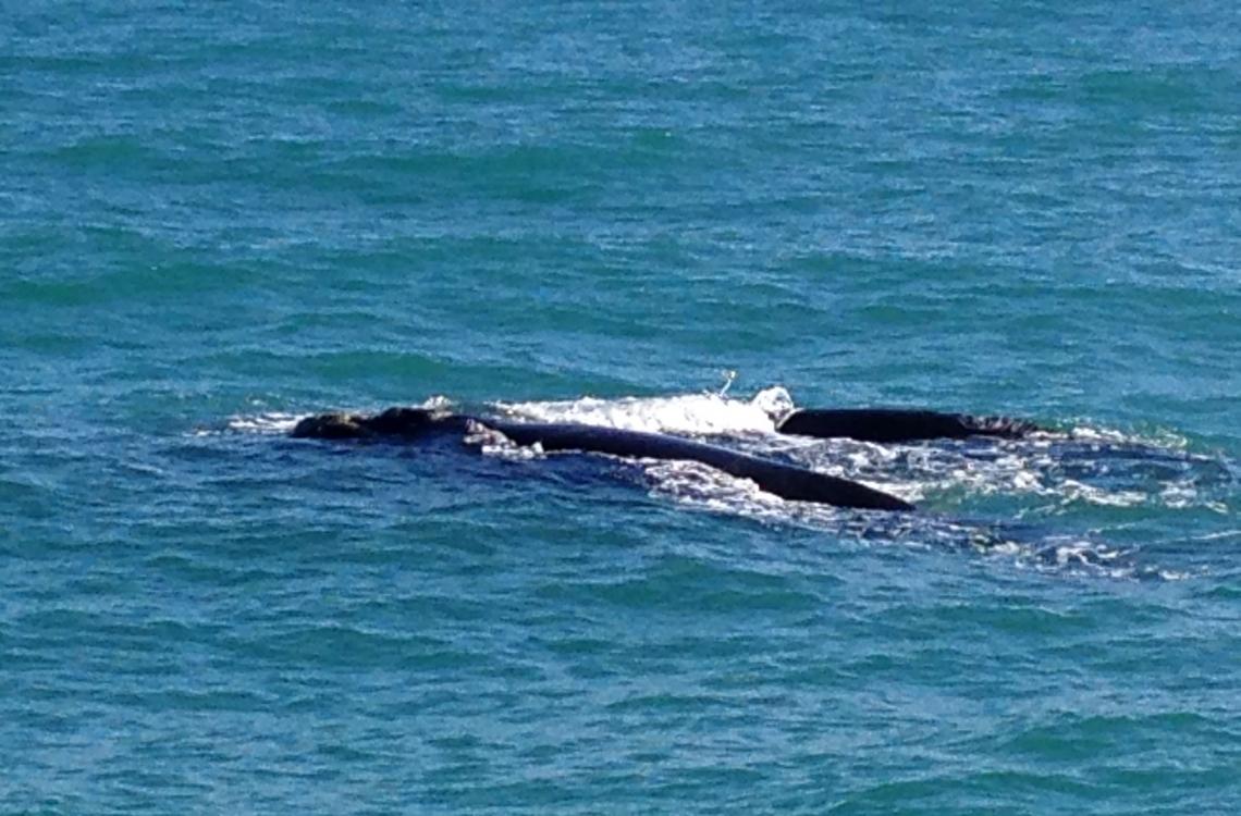 Hvalerne viser sig i overfladen