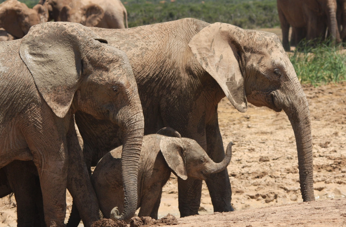 Elefant familie