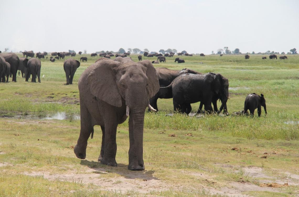 Elefanter på tur i savannen
