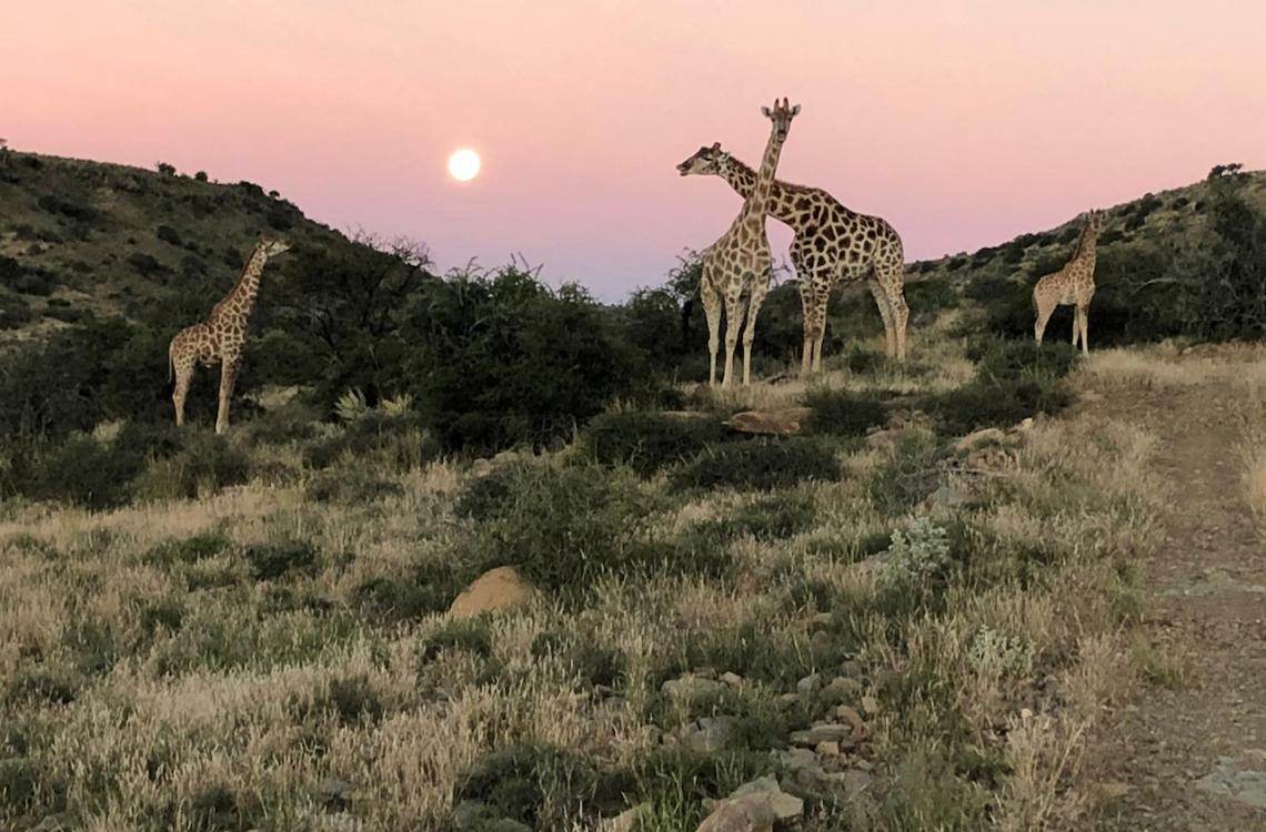 Giraffer i det kuperede Afrikanske terræn