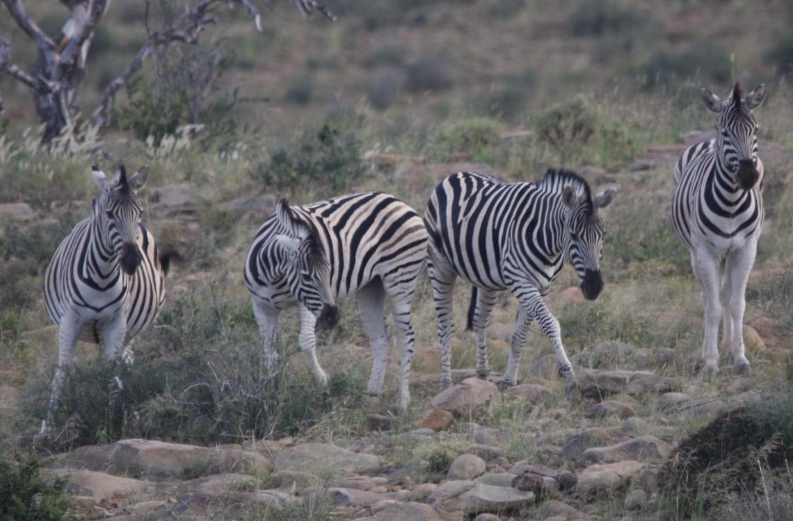 Fine zebraer i området omkring Malpepo